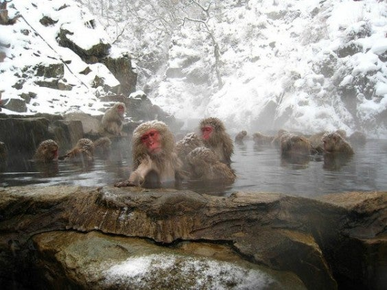 Scimmie della neve Giappone