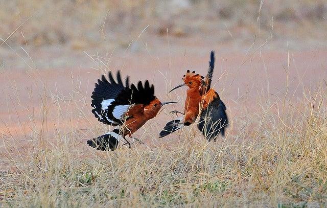 Animali africani | upupa