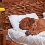 Un cane sogna felice nel letto di un hotel