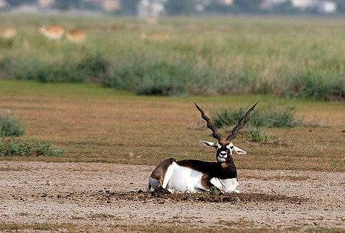 antilope africa centrale