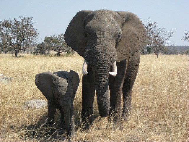 elefante, mammifero africano
