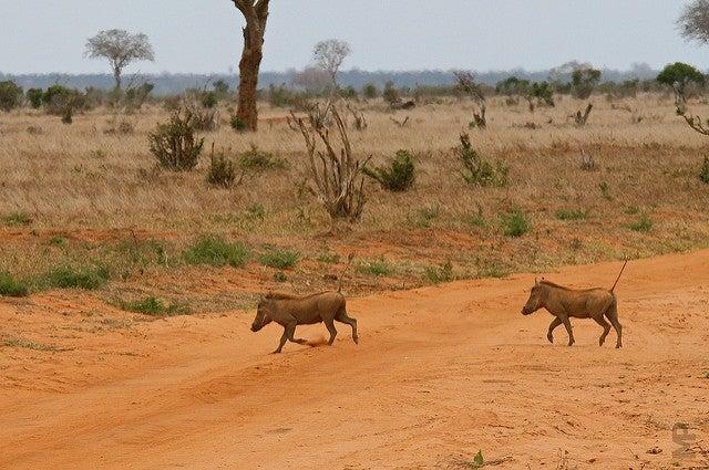 facocero africa animale con la f edreams blog di viaggi