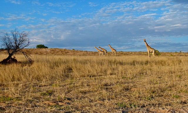 giraffa savana africana