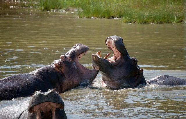 ippopotamo africa animali edreams blog di viaggi