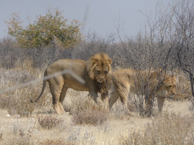 leoni animali di africa edreams blog di viaggi