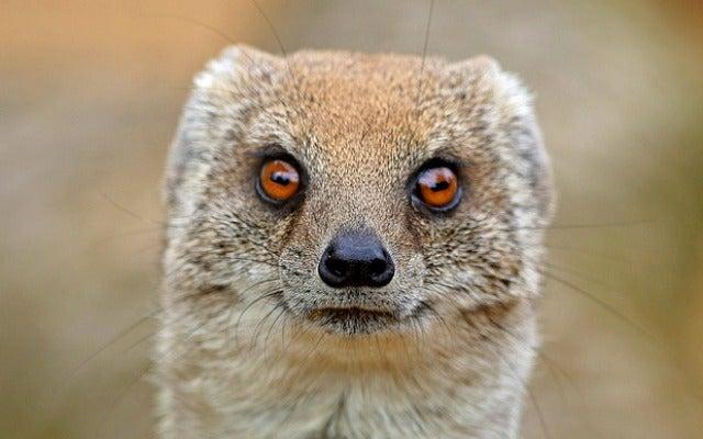 mongoose.f