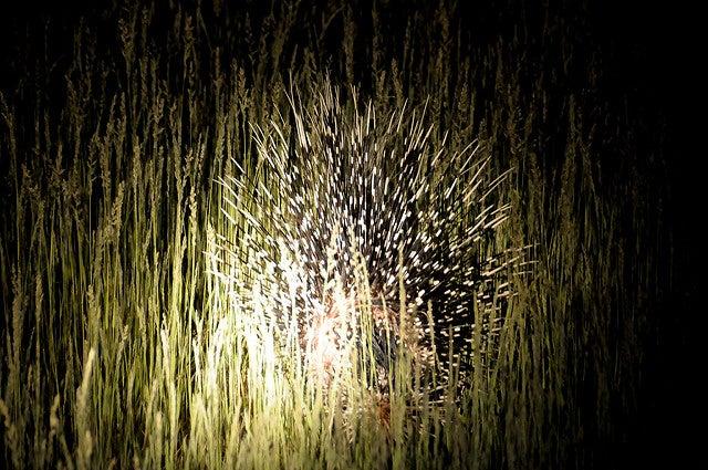 porcospino notturno animale con la p edreams blog di viaggi