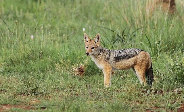 sciacallo fauna della savana edreams blog di viaggi