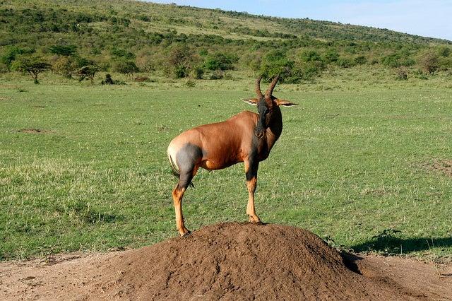 topi, antilope della savana africana