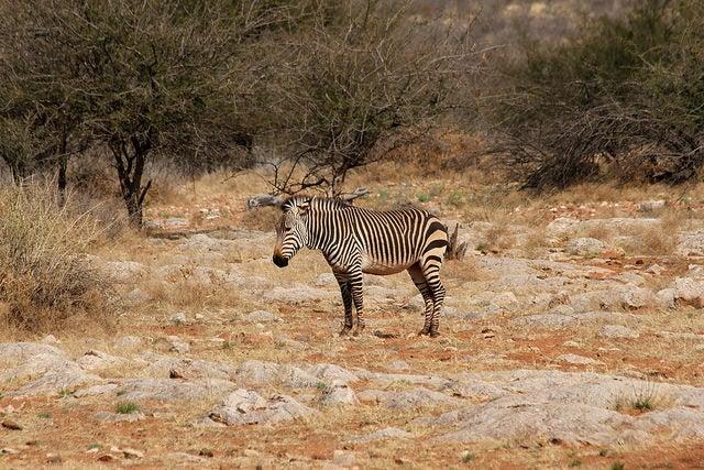 zebra africa animali che iniziano con la z edreams blog di viaggi