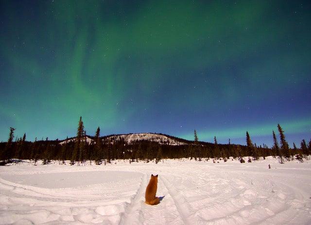 Auroras boreales: cuándo y dónde verlas. zorro mirando la aurora boreal de alaska