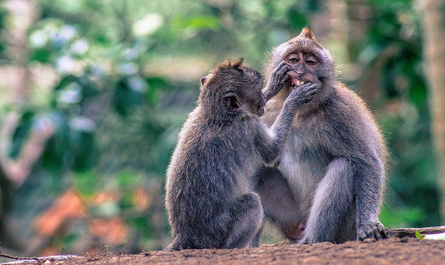 bali scimmie - Hadi Zaher