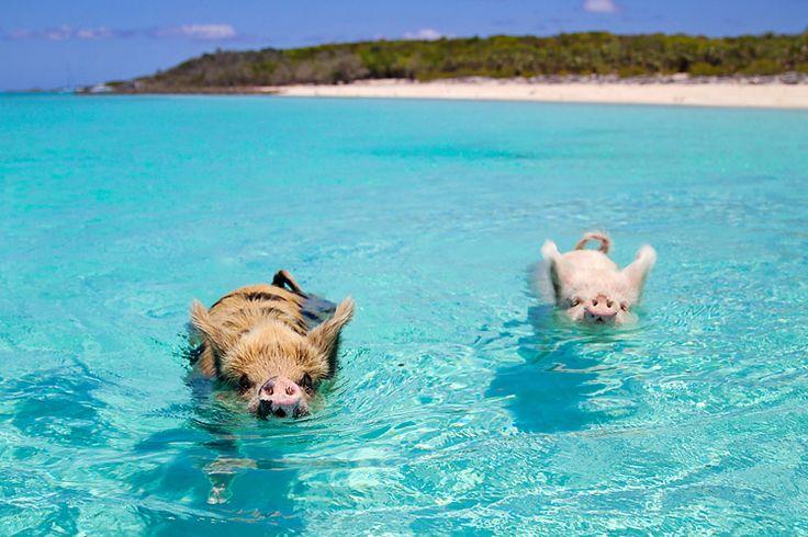 isola maiali bahamas